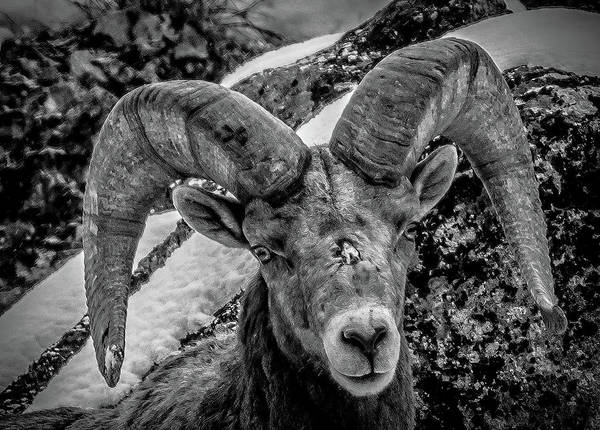Photograph - Old Ram by Jason Brooks
