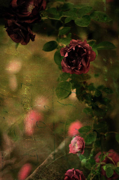 Photograph - Old Roses by Rebecca Sherman