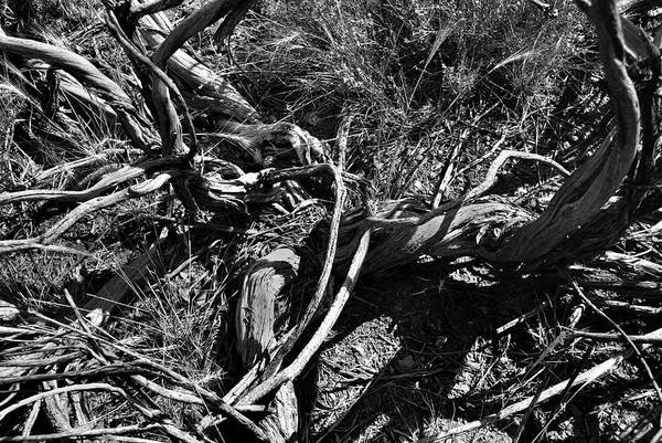 Photograph - Old Sagebrush Remains by Ron Cline