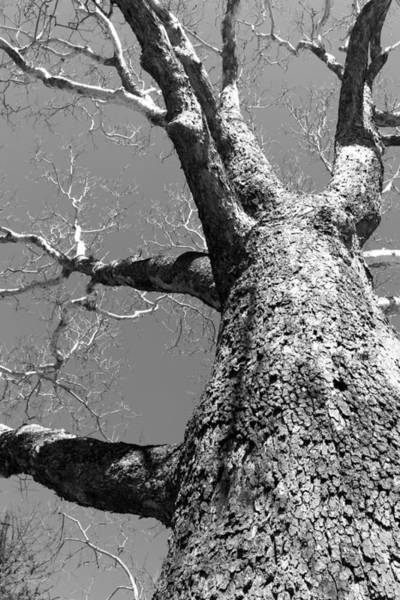 Photograph - Old Sycamore by Polly Castor