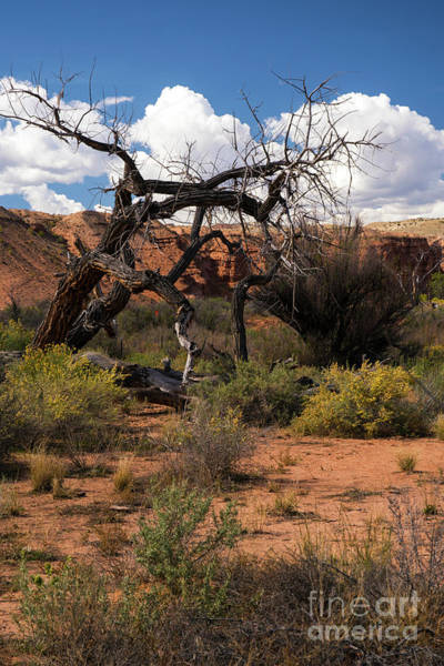 Photograph - Old Tree In Capital Reef National Park by Cindy Murphy - NightVisions