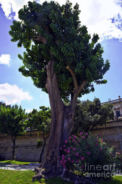Wall Art - Photograph - Old Tree In Palermo by Madeline Ellis