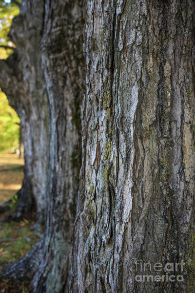 Bark Wall Art - Photograph - Old Trees Muster Field Farm North Sutton New Hampshire by Edward Fielding
