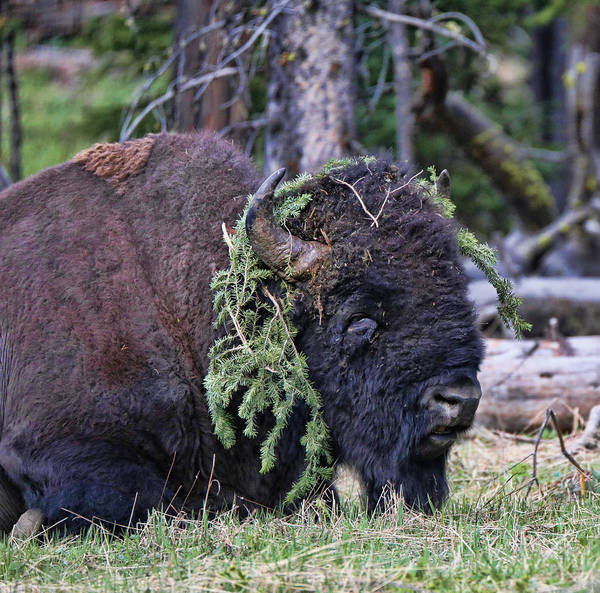 Photograph - Old Yellowstone Bison Covered In Pine by Dan Sproul