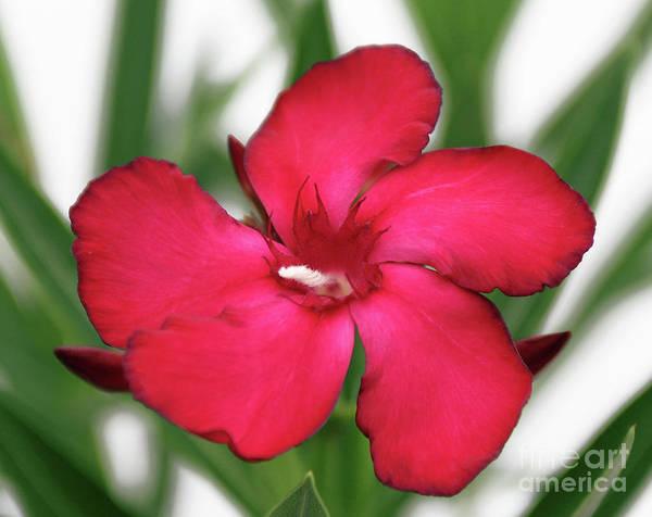 Photograph - Oleander Blood-red Velvet 1 by Wilhelm Hufnagl