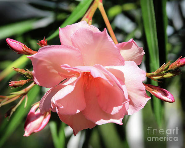 Photograph - Oleander Mrs. Roeding 3 by Wilhelm Hufnagl