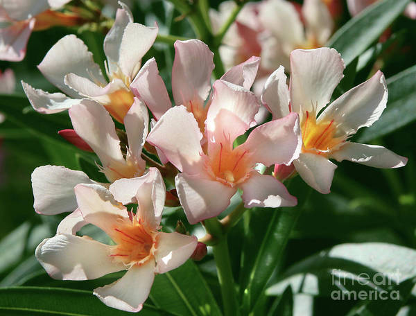 Photograph - Oleander Petite Salmon 1 by Wilhelm Hufnagl