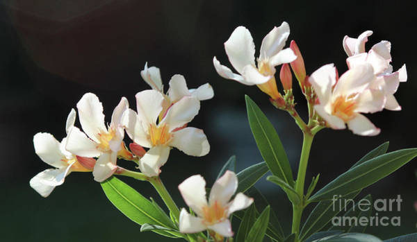 Photograph - Oleander Petite Salmon 2 by Wilhelm Hufnagl