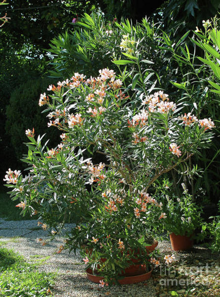 Photograph - Oleander Petite Salmon 4 by Wilhelm Hufnagl