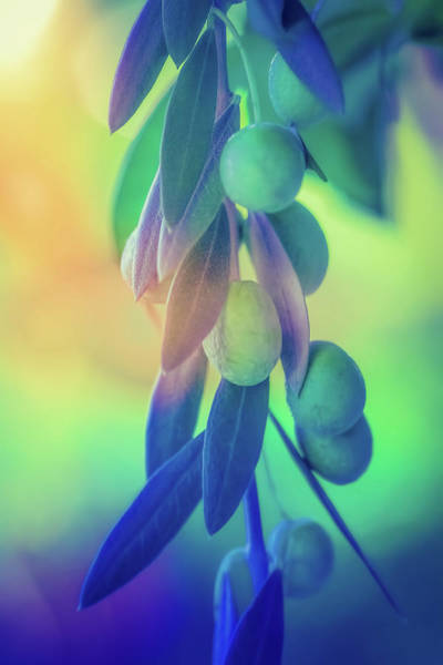 Olive Branch Digital Art - Olive Branch In Color by Terry Davis