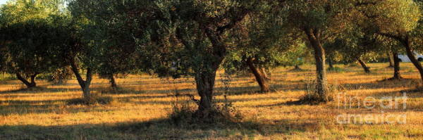 Photograph - Olive Grove 2 by Angela Rath