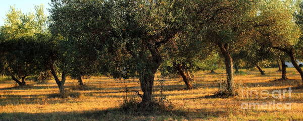Photograph - Olive Grove 3 by Angela Rath
