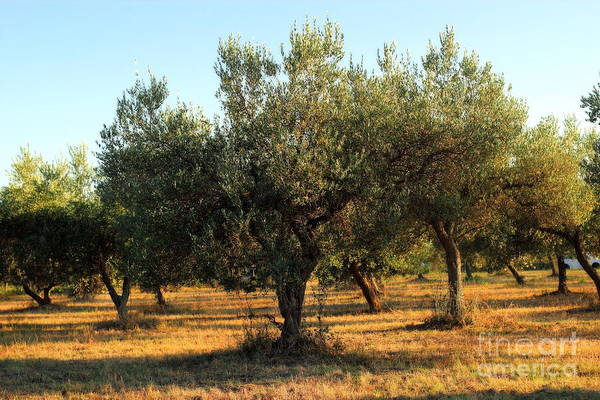 Photograph - Olive Grove by Angela Rath
