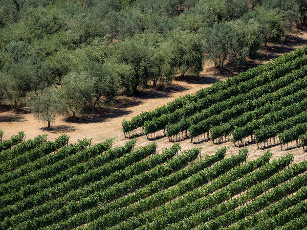 Photograph - Olive Grove Meets Vineyard by Gary Karlsen