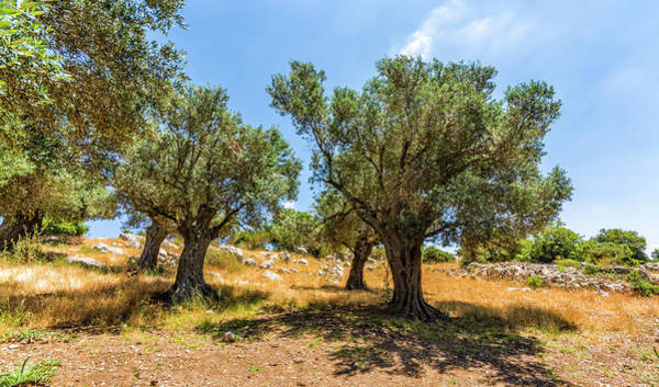 Olive Branch Digital Art - Olive Grove by Tsafreer Bernstein