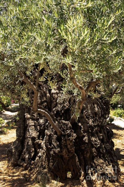 Photograph - Olive Tree by Mae Wertz