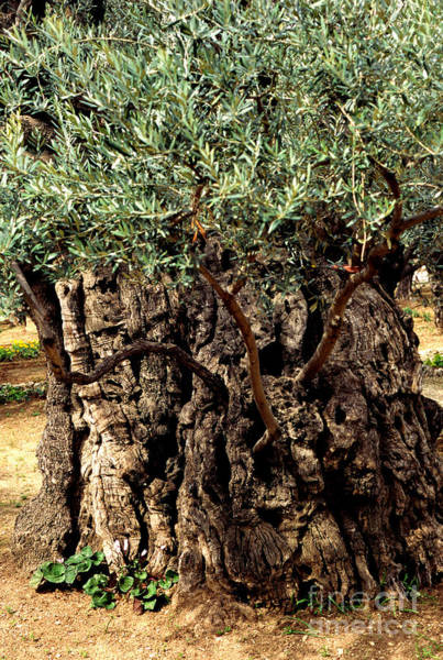Jewish Homeland Photograph - Olive Tree The Garden Of Gethsemane by Thomas R Fletcher