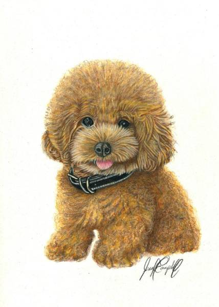 Maltipoo Wall Art - Drawing - Oliver by Jennifer Campbell Brewer