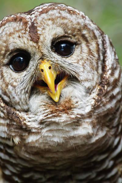 Photograph - Oliver Owl by Arthur Dodd