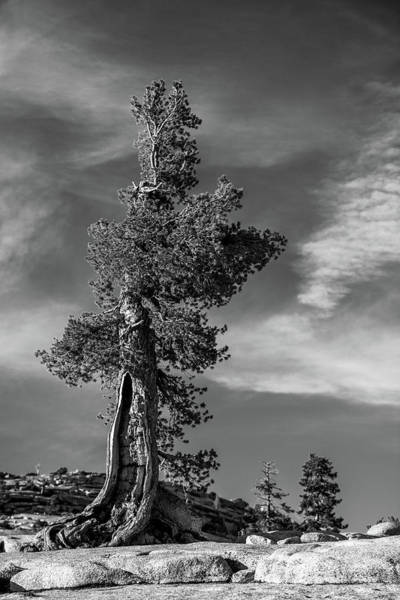 Wall Art - Photograph - Olmsted Point Pine by Davorin Mance