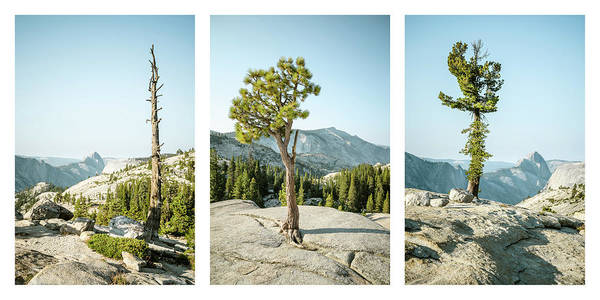 Photograph - Olmsted Point Trees Triptych by Alexander Kunz