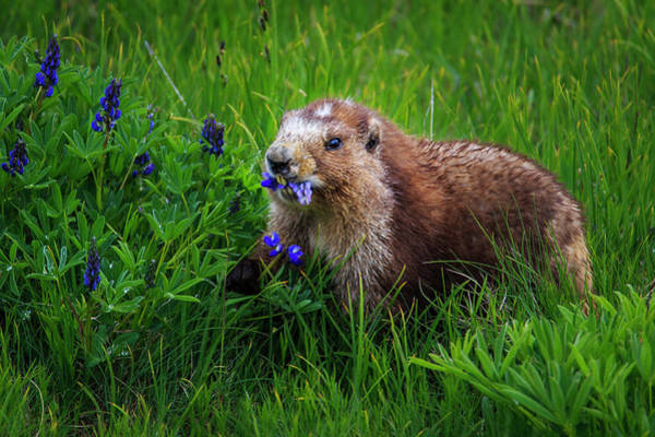 Marmot Photograph - Olympic Marmot by Briand Sanderson