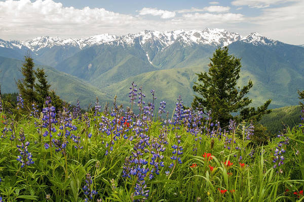 Mountain Range Photograph - Olympic Mountain Wildflowers by Brian Harig