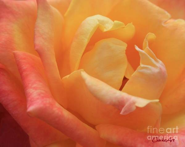Photograph - Ombre Rose by Jean Clarke