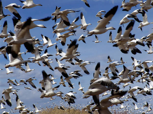 Photograph - On A Mission Bosque Del Apache by Kurt Van Wagner