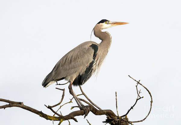 Great Blue Heron Wall Art - Photograph - On Alert by Mike Dawson