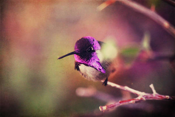 Hummingbird Photograph - On An Evening Like This by Laurie Search