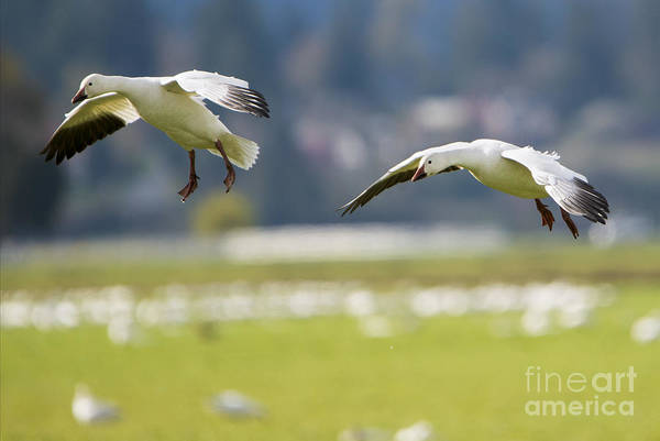 Snow Goose Photograph - On Approach by Mike Dawson