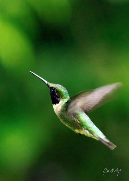 Wall Art - Photograph - Ruby-throated On Approach by Phill Doherty