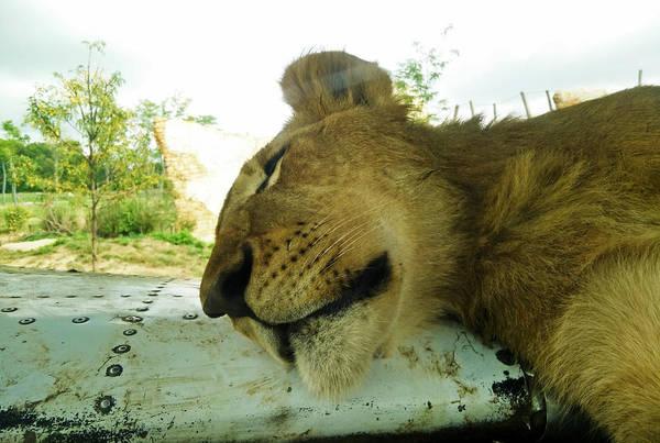 Photograph - On Display Lion Flight Attendant by Robert Knight