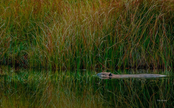 Photograph - On Golden Beaver Pond by Tim Bryan