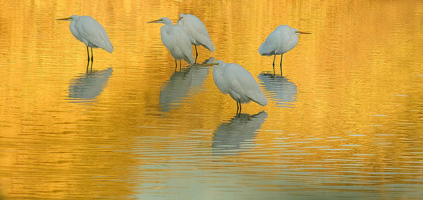 Photograph - Sold 2 - 10x20 Canvas - Great Egrets Golden Pond by Tam Ryan