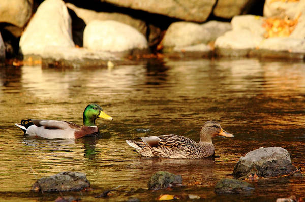 Greenhead Photograph - On Golden River by Debbie Oppermann
