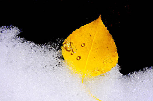 Icy Leaves Wall Art - Photograph - On Ice by The Forests Edge Photography - Diane Sandoval