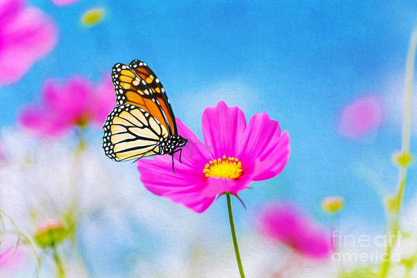 Monarch Butterflies Photograph - On The Cosmos by Laura D Young