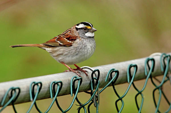 White-throated Sparrow Photograph - On The Fence by Debbie Oppermann