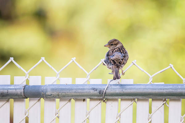 Photograph - On The Fence by Stan Kwong