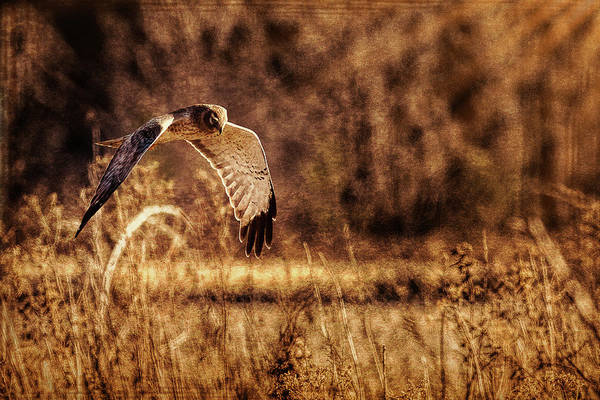 Harrier Photograph - On The Hunt by Annette Hugen