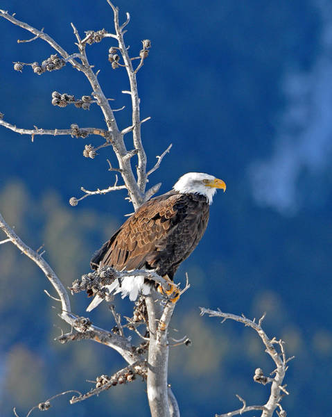 Haliaeetus Leucocephalus Photograph - On The Lookout by Sandy Sisti