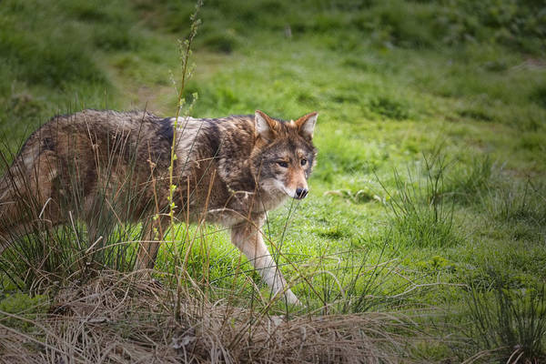 Photograph - On The Prowl by Randy Hall
