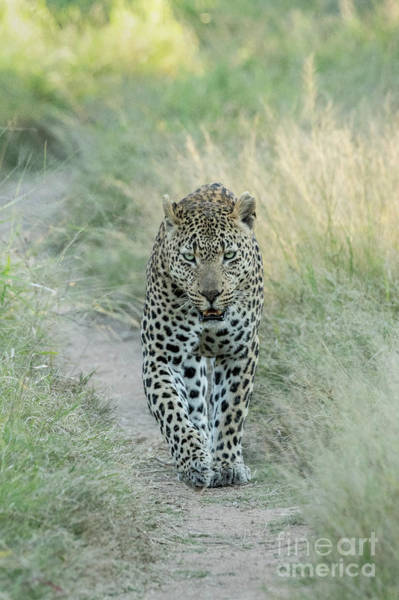 Wall Art - Photograph - On The Prowl - Sabi Sands by Sandra Bronstein