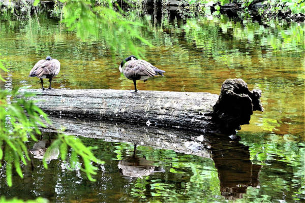 Photograph - On The River Log by Kim Bemis