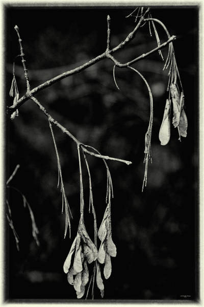 Photograph - On The Wings Of A Maple - Black And White by Mother Nature