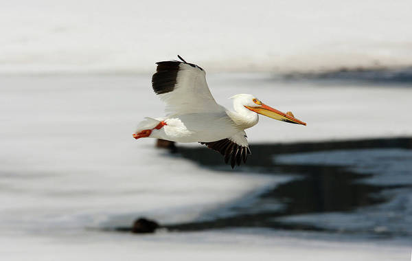Photograph - On The Wings Of A Pelican by Ronnie and Frances Howard
