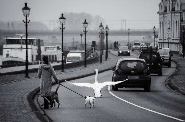 Swan Photograph - On The Wrong Side Of The Road by Gerard Jonkman