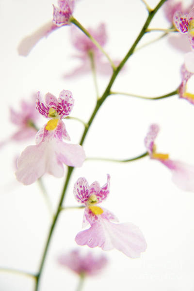 Wall Art - Painting - Oncidium Orchid Flowers by Julia Hiebaum